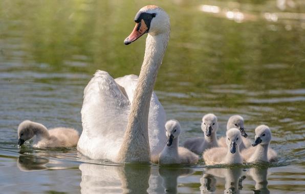 Картинка семья, лебедь, прогулка, мама, птенцы, водоем