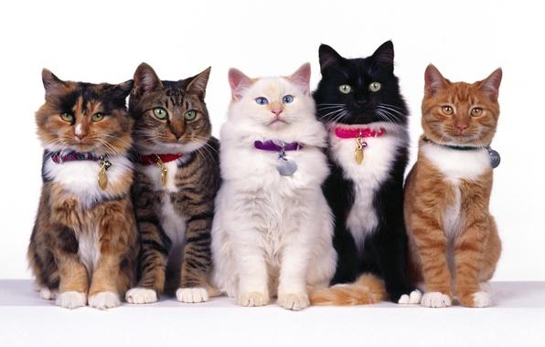 Картинка белый, глаза, кот, усы, вместе, черный, коты, рыжий, полосатый, пять, пятнистый, сидят, ошейники
