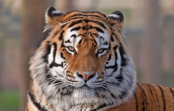 Картинка взгляд, морда, тигр, животное, хищник, окрас