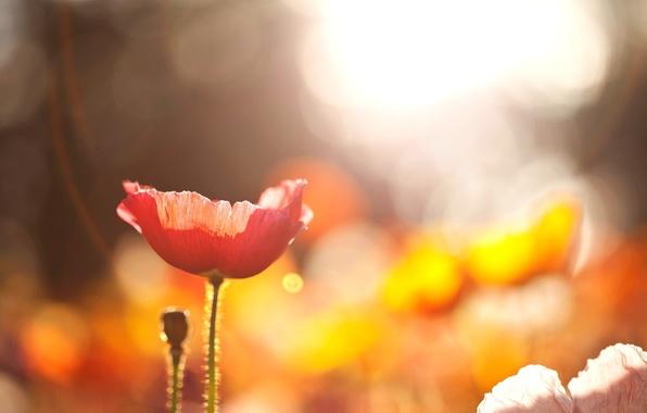 Картинка поле, цветок, солнце, макро, свет, цветы, красный, природа, мак, боке