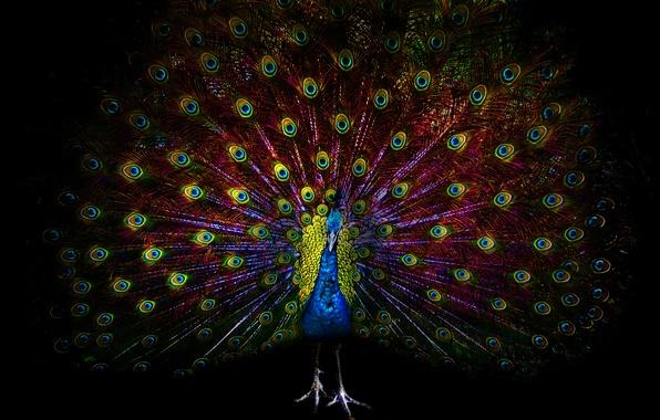 Картинка глаза, темнота, птица, перья, павлин