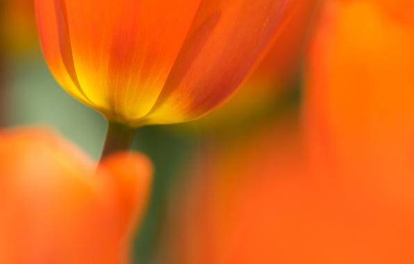 Картинка цветок, фон, тюльпан, весна, лепестки
