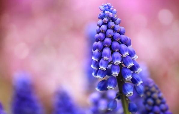 Картинка поле, макро, цветы, блики, фон, розовый, размытость, синие, Мускари
