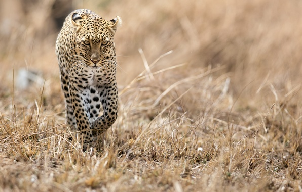Картинка кошка, хищник, леопард, саванна, африка