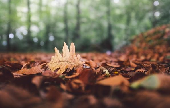 Картинка осень, лес, листья, лист, опавшие, боке, дубовый