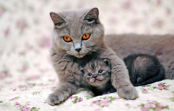 Картинка кошка, глаза, взгляд, котенок, кровать, серые, забота, лежат