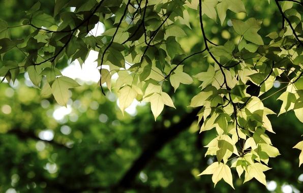 Картинка зелень, листья, ветки, Ветви, боке