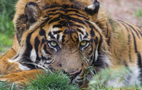 Картинка кошка, взгляд, морда, тигр, ©Tambako The Jaguar, суматранский