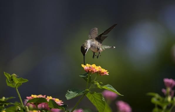 Картинка макро, цветы, птица, колибри, солнечно