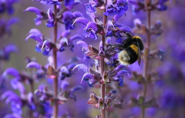 Картинка макро, цветы, пчела, весна, насекомое, шмель, сиреневые