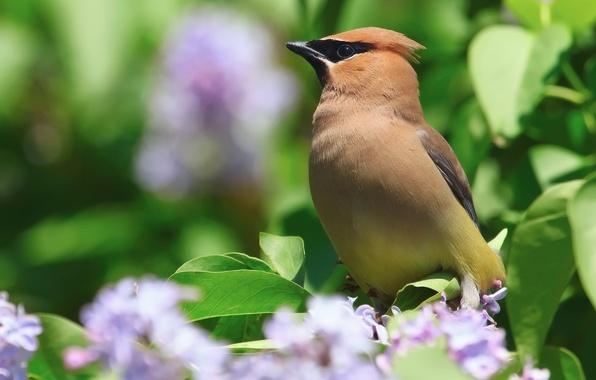 Картинка цветы, природа, птица, куст, весна, серень, свиристель