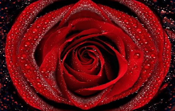Картинка капли, макро, роса, роза, лепестки