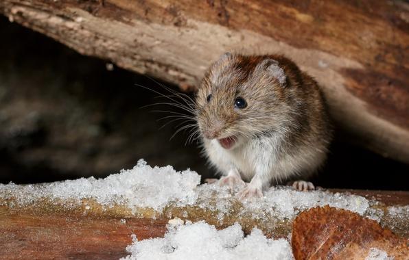 Картинка взгляд, природа, мышка