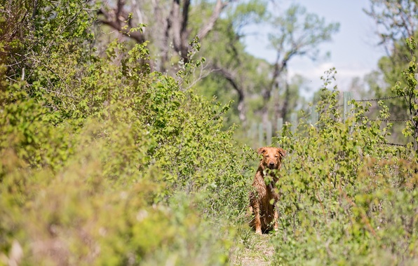 Картинка тропа, кустарник, рыжая собака
