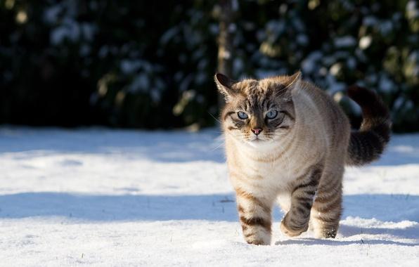 Картинка зима, кошка, кот, снег, природа, тени