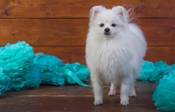 Картинка белый, украшения, бумага, фон, голубой, доски, собака, щенок, стоит, мордашка, милашка, фотосессия, шпиц