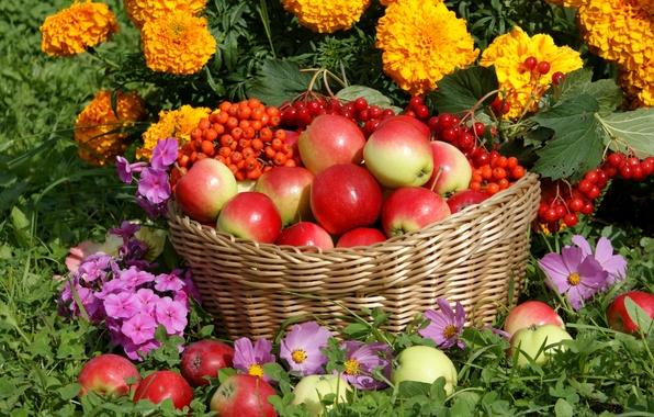 Картинка цветы, корзина, яблоки, урожай, рябина, калина, космея, флоксы, бархатцы