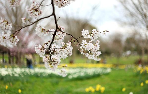 Картинка цветы, желтый, природа, вишня, дерево, ветви, поляна, ветка, весна, лепестки, размытость, сакура, белые, зеленая, цветение