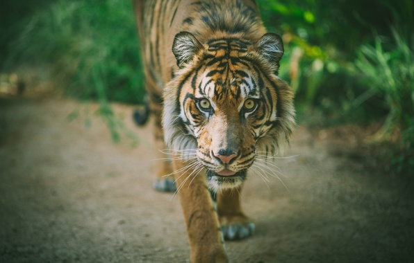 Фото обои животное, хищник, тигр
