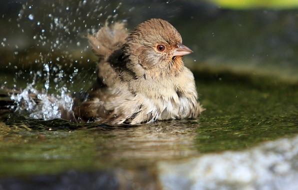 Картинка вода, брызги, птицы, птица, лужа, воробей