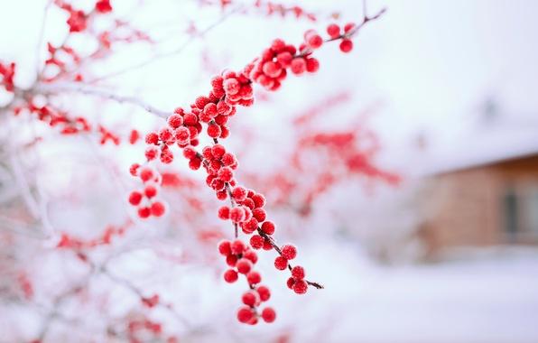 Картинка зима, снег, природа, ягоды, дерево, ветка, красные