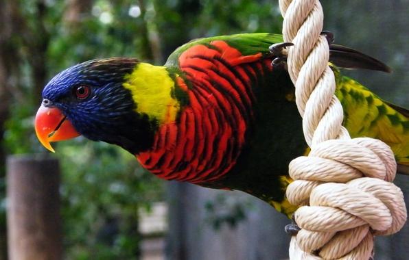 Картинка птица, перья, клюв, попугай, канат, верёвка, расцветка, окраска