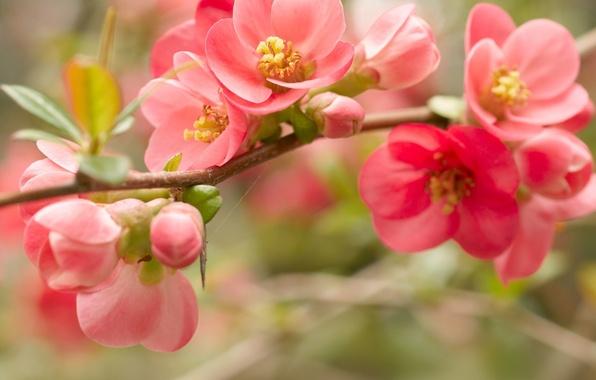 Картинка макро, цветы, ветка, весна, лепестки, красные, розовые, цветение