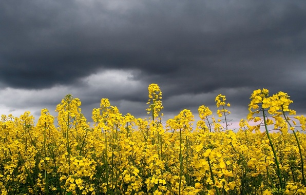 Картинка гроза, небо, цветы, желтый, яркий, тучи