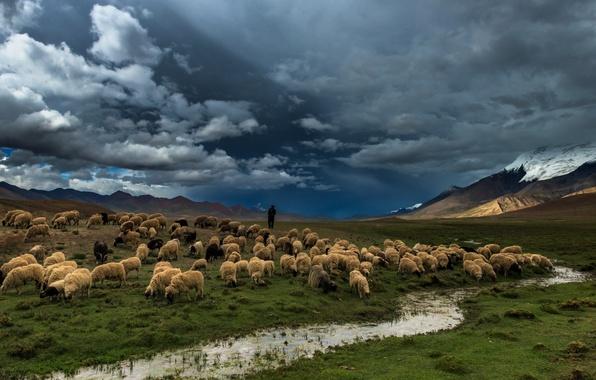 Картинка поле, природа, река, овцы