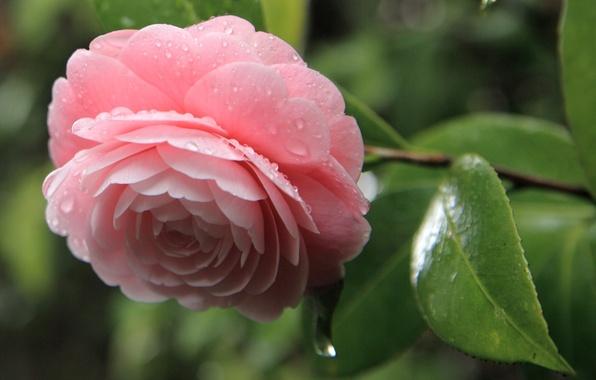 Картинка цветок, листья, капли, розовая, лепестки, камелия
