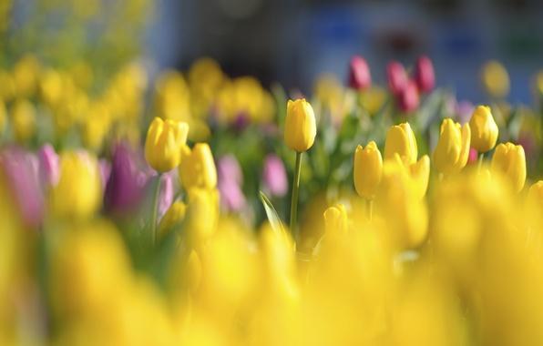 Картинка свет, цветы, поляна, яркие, весна, желтые, тюльпаны, красные, бутоны