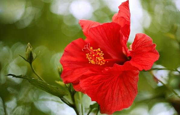 Картинка макро, лепестки, гибискус, китайская роза