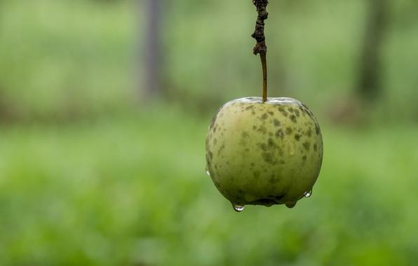 Картинка капли, фон, яблоко, ветка