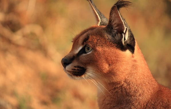 Фото обои Caracal, степная рысь, хищник, каракал, уши, морда, кисточки