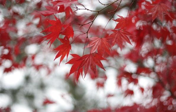 Картинка листья, ветки, Дерево, размытость, красные, клен, боке