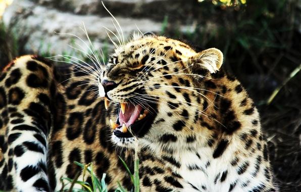 Картинка леопард, клыки, оскал, лежит, рычит