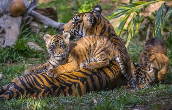 Картинка тигры, тигрица, тигрята, материнство, детёныши