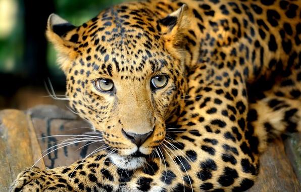 Картинка глаза, усы, взгляд, хищник, леопард, Большая кошка