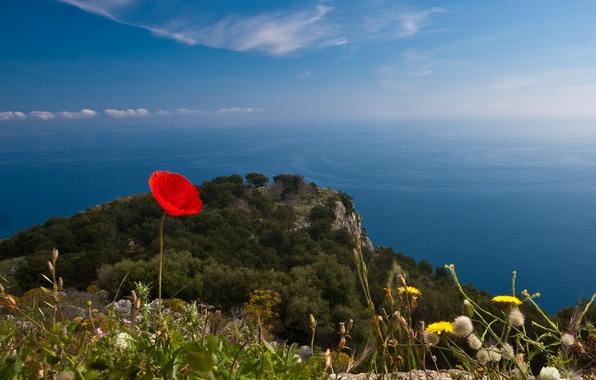 Картинка море, цветок, мак, горизонт