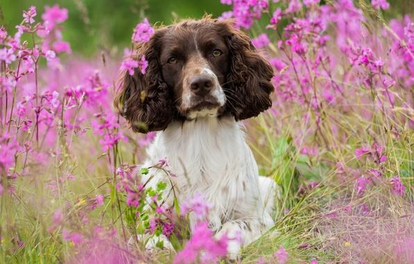 Картинка цветы, собака, луг