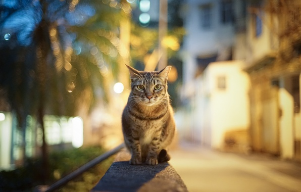 Картинка кошка, взгляд, город, огни, блики, улица, вечер