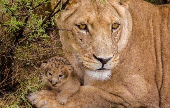 Картинка малыш, детёныш, львы, львица, львёнок