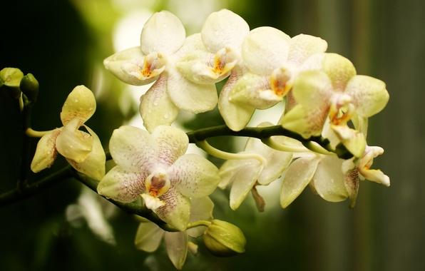 Картинка цветок, ветка, бутоны, орхидея, светлая, фалинопсис, в крапинку