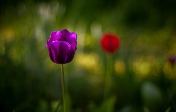 Картинка цветок, фиолетовый, макро, размытость, Тюльпан