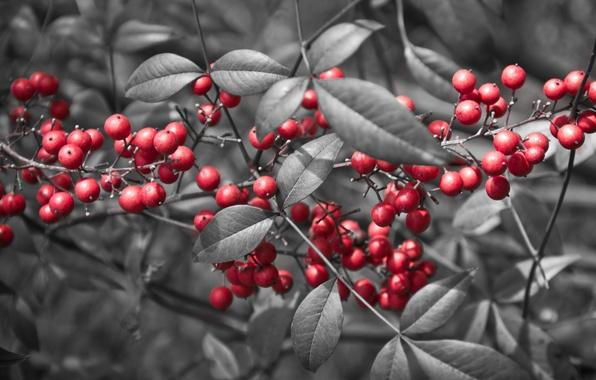 Картинка листья, ягоды, ветка, красные