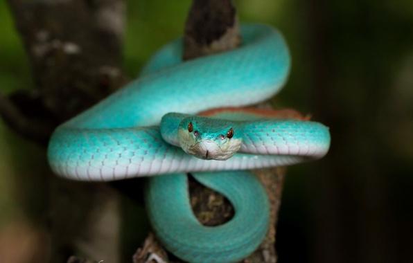 Фото обои Blue Trimeresurus insularis, змея, природа