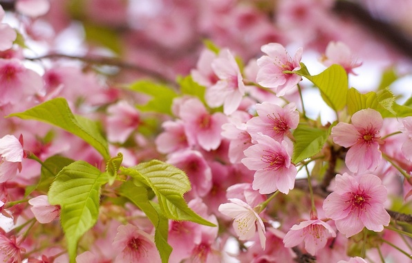 Картинка листья, макро, вишня, весна, сакура, цветение