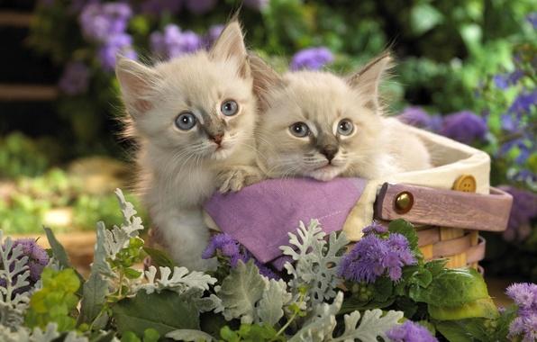 Картинка кошки, цветы, котенок, корзина, сад, пара, котята, корзинка, сиреневые, котэ, лукошко