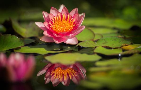 Картинка листья, вода, отражение, кувшинка, водяная лилия