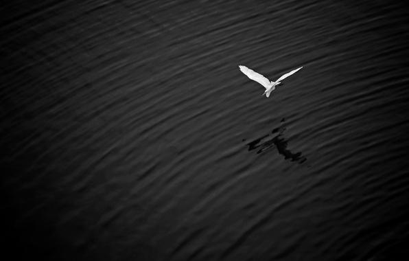Картинка полет, озеро, крылья, тень, большая белая цапля